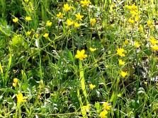 AndersonMarshYellowWildflowers 3-19-2016 3-28-07 PM