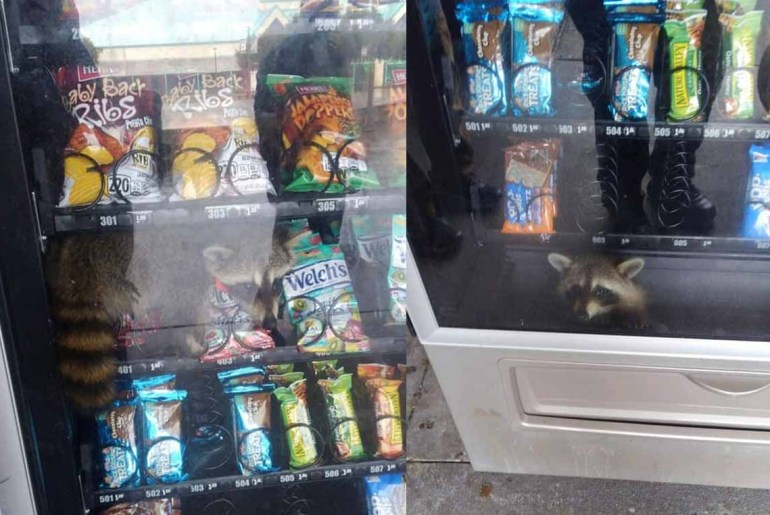 Raccoon gets stuck inside a Florida high school vending machine