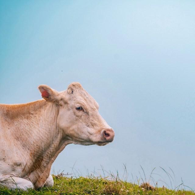 An Azorean cow sits in an open grass field.