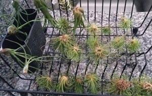 dry air plants upside down