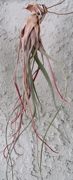 thirsty and dying air plant
