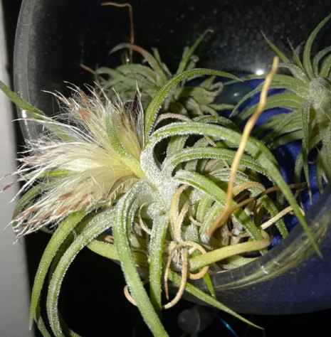 air plant seeds in a terrarium