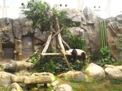 Ocean-Park-Hong-Kong-sleeping-panda