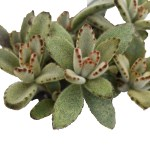 The Kalanchoe tomentosa or the 'Chocolate Soldier' Succulents, Cactus and Tropical Plants at Crazy Critters
