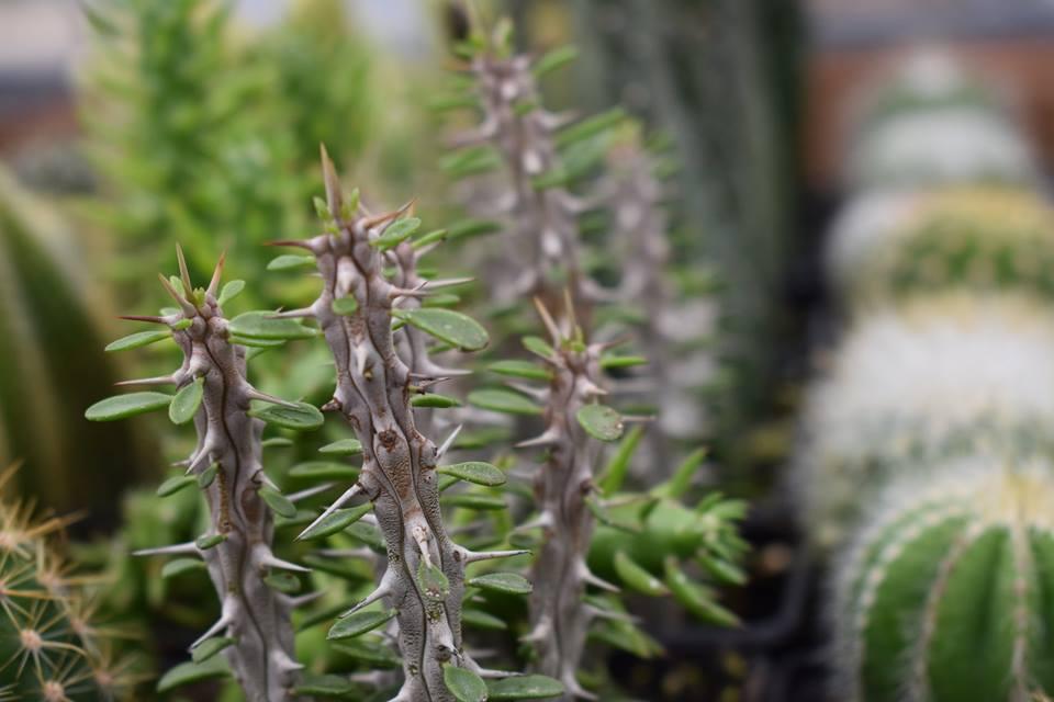 """RARE 1 Cutting 5/"""" Alluaudia Procera /""""MADAGASCAR OCOTILLO/' Cactus Pachypodium"""