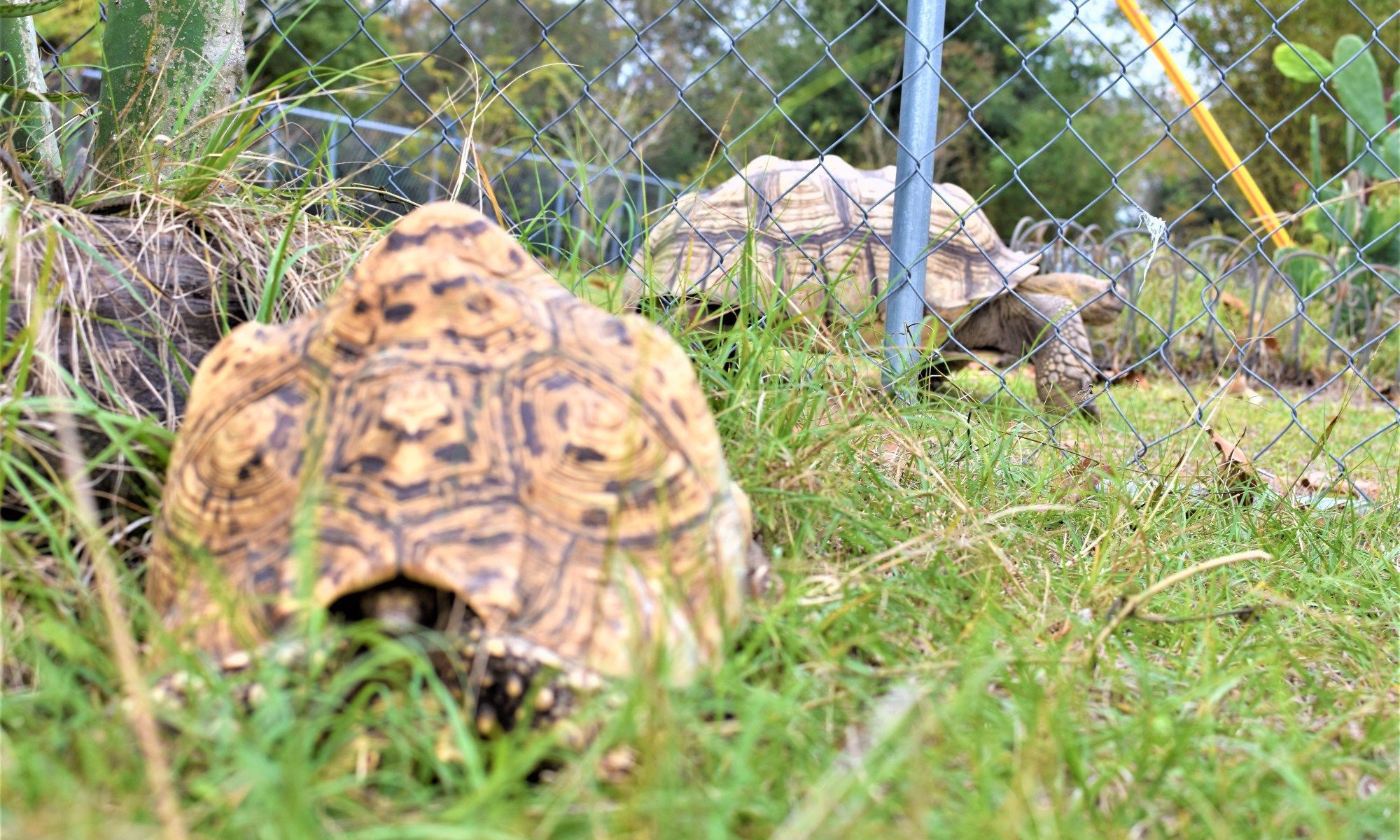 Tortoises Need Grass Flowers Weeds And Hay Before They Need Fruit And Vegetables Crazy Plants Crazy Critters