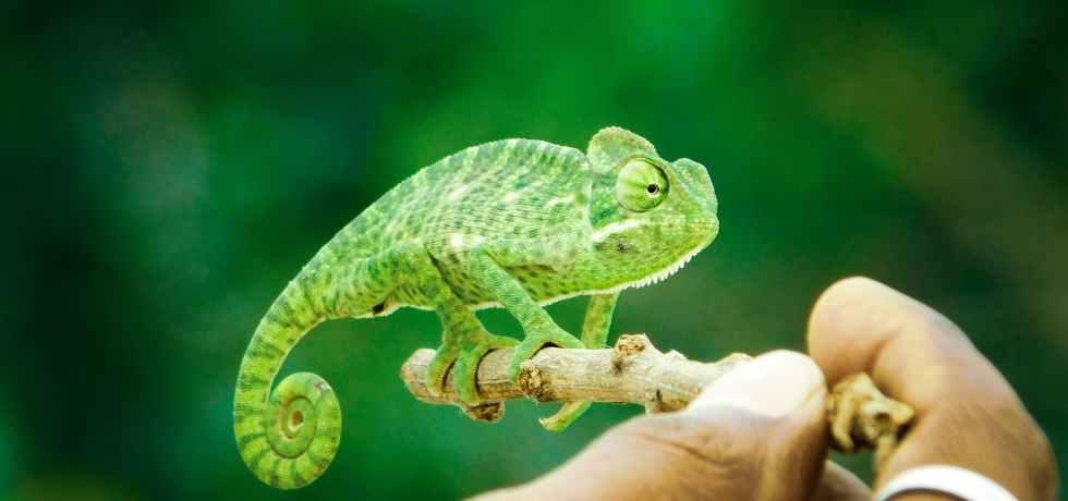 green chameleon
