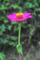 A Zinia bloom...