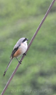 The long-tailed Shrike