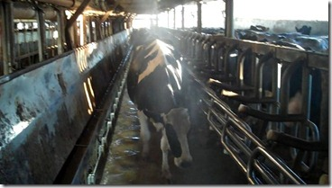 Cow walking in the barn