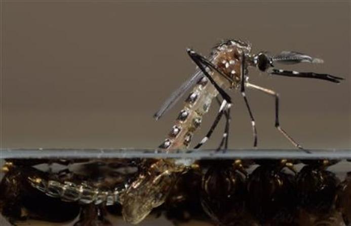 mosquitos in florida GMO
