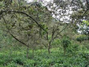 Tea Field cusco - arafat espinoza
