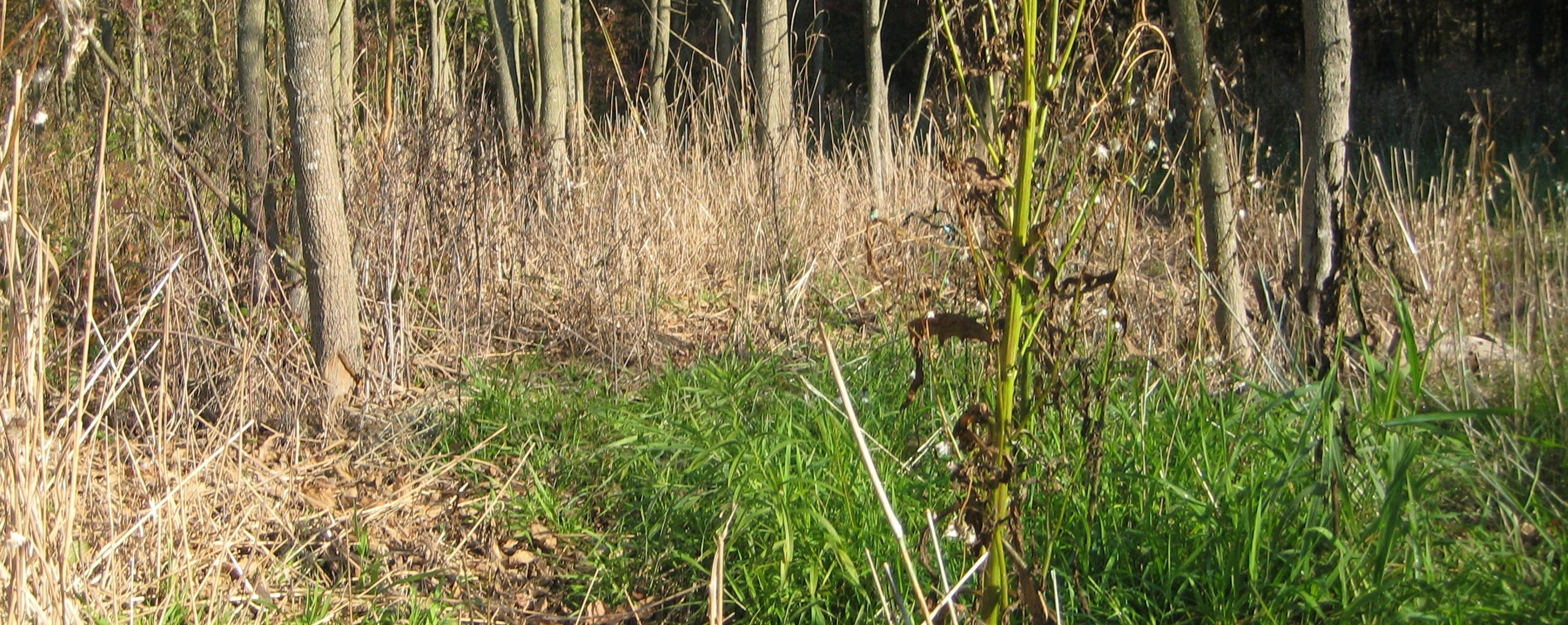 Picture of reed canarygrass growing actively in October.