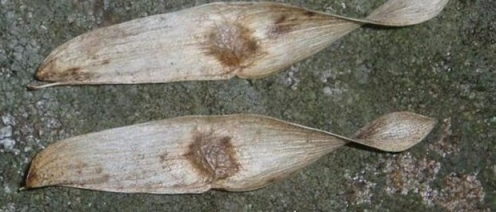 Picture of winged seeds of tree of heaven.