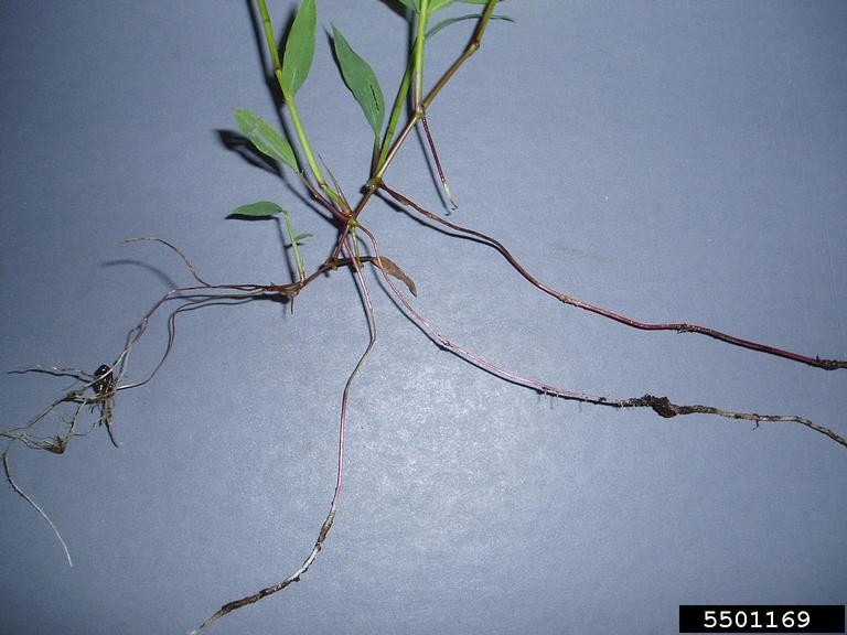 Picture of stiltgrass stem and roots.