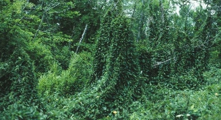Picture of black swallow-wort infestation.