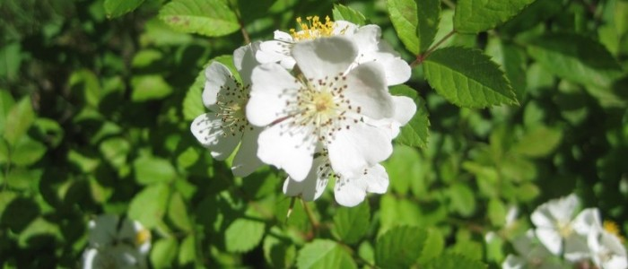 Picture of multiflora rose blossoms.