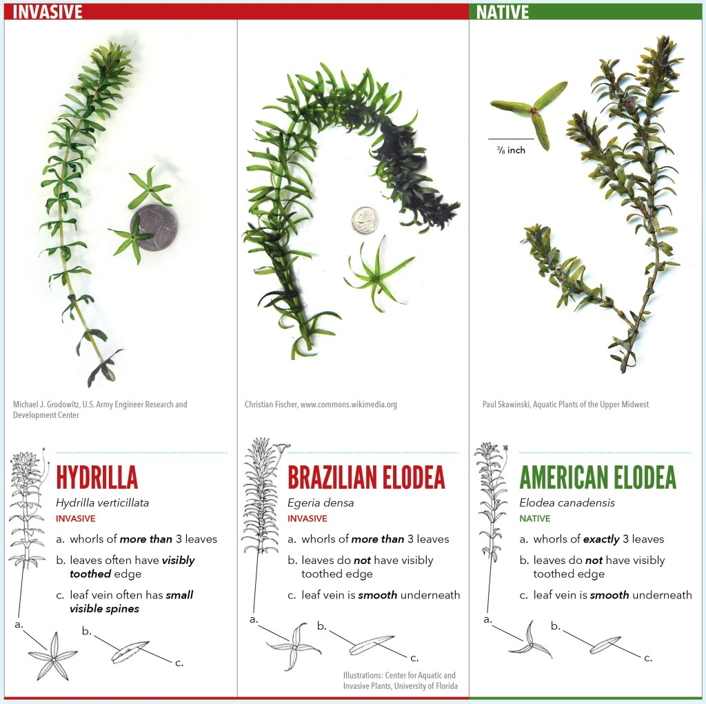 cbg-hydrilla-id-sheet-high-res-front-with-just-the-id-portion