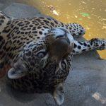 Jaguar Girl Simara