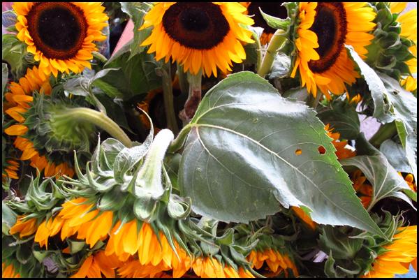 Marché Jean-Talon Sunflowers