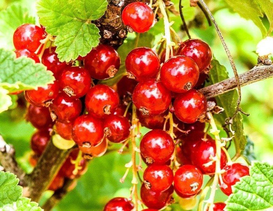 berries-1110015_640