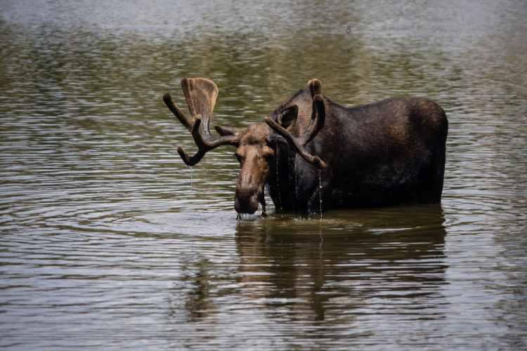 Moose in Sprague Lake at Rocky Mountain National Park
