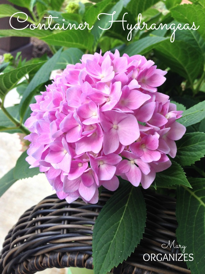 Container Hydrangeas - Add a pop of color