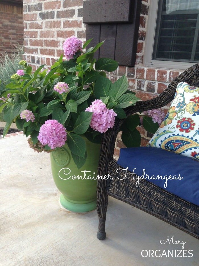 Container Hydrangeas - the leaves and blooms are beautiful