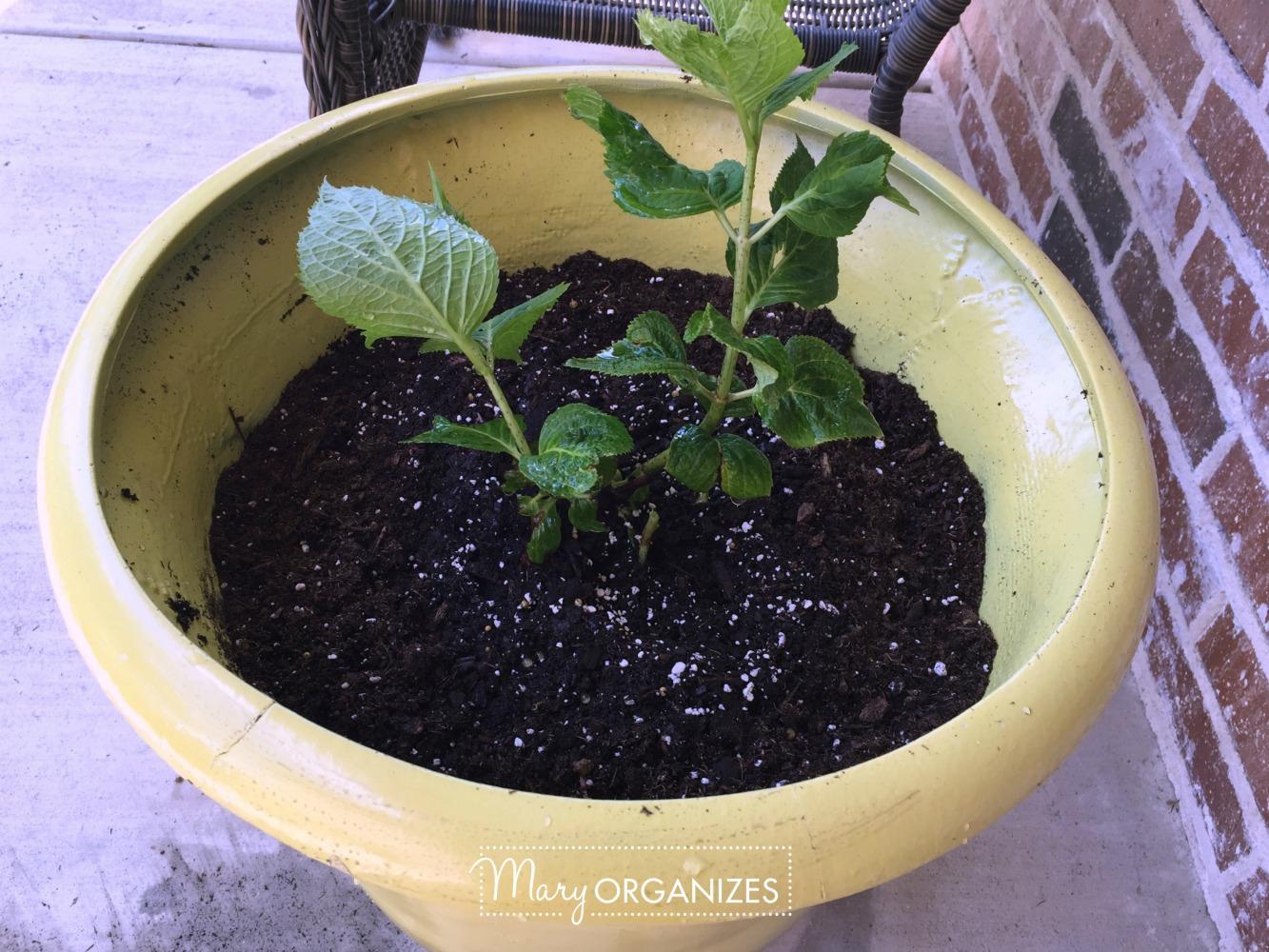 Planter Refresh and Hydrangea Propagation 14