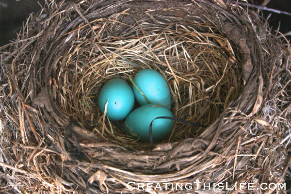 three-robin-eggs-in-nest