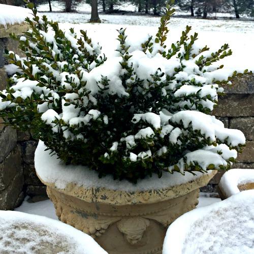 boxwood in snow