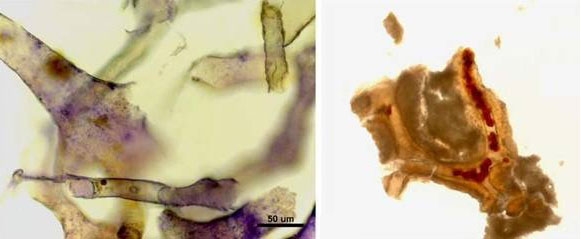 The finding of pliable blood vessels, blood cells and proteins in dinosaur bone is consistent with an age of thousands of years for the fossils, not the 65+ million years claimed by the paleontologists. For more see Dino soft tissue find—a stunning rebuttal of 'millions of years'