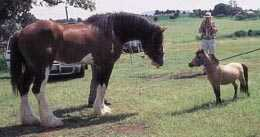 Énorme clydesdale draughthorse face à un minuscule cheval miniature