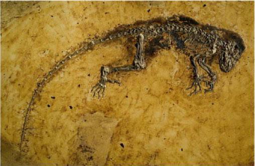O fóssil bem-preservado de Darwinius masillae, alvo de uma campanha publicitária orquestrada e barulhenta. O comprimento, com a cauda, é de cerca de 90 cm. Foto Franzen et al. (Ref 8).