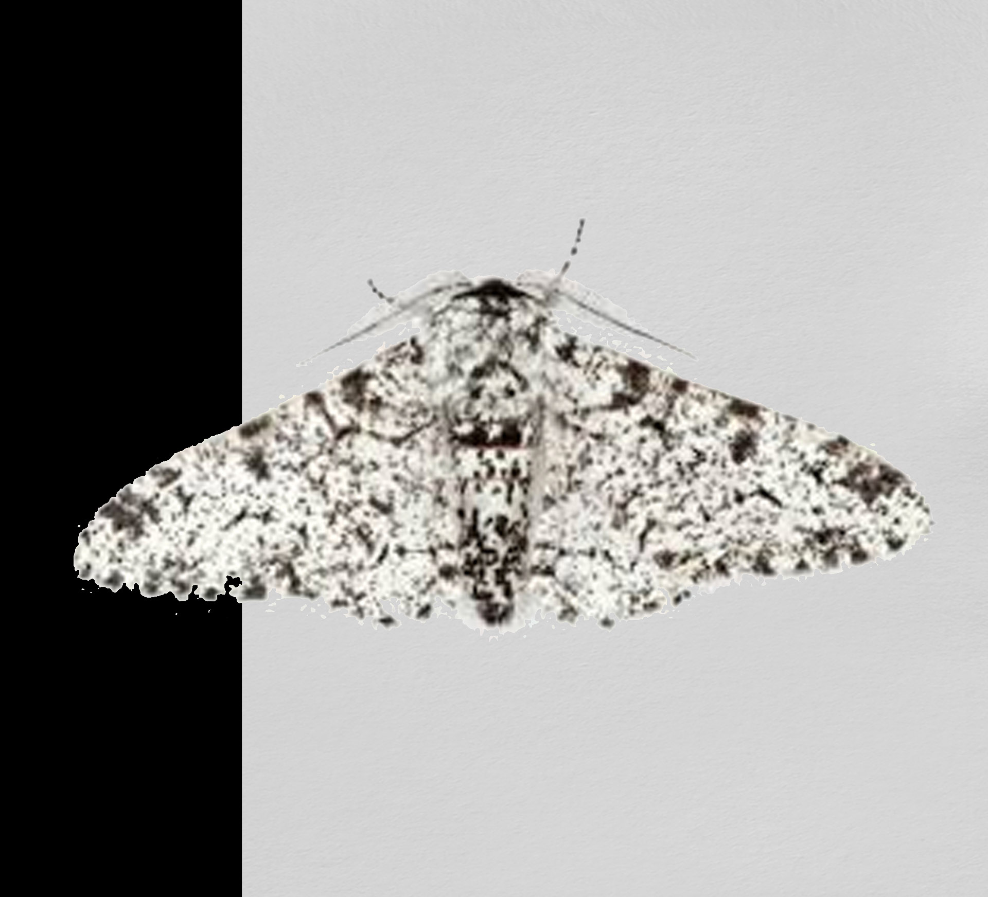 The Peppered Moth Story Vindicated