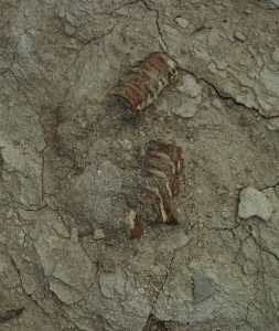 Fish vetrebrate (in layers classified as Cretaceous) found by the author in Kansas - far above sea level