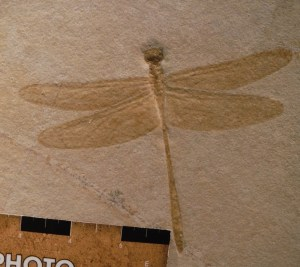 Dragonfly Fossil.  Photo Copyright Sara J. Bruegel, February 2016