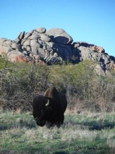 Bison at Wichita Mountain Wildlife Refuge. Photo copyright Sara J. Bruegel, 2016