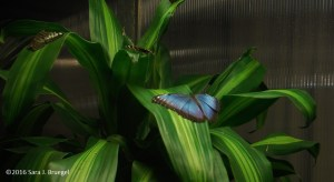 Blue Morpho.  Photo copyright Sara J. Bruegel, 2016