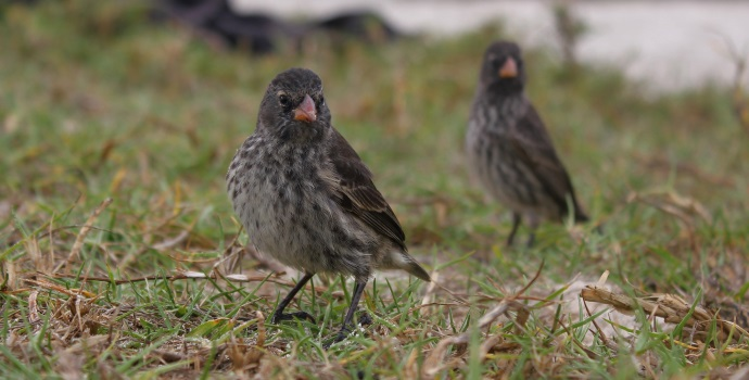 Galapagos Finches Speciate Creation Fact File