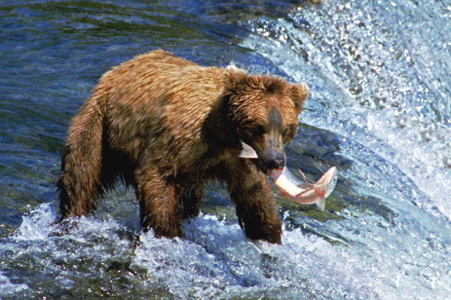 Image: Grizzly Bear fishing for salmon