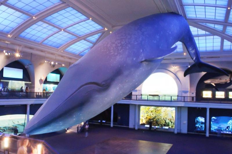 Model of a whale in a museum
