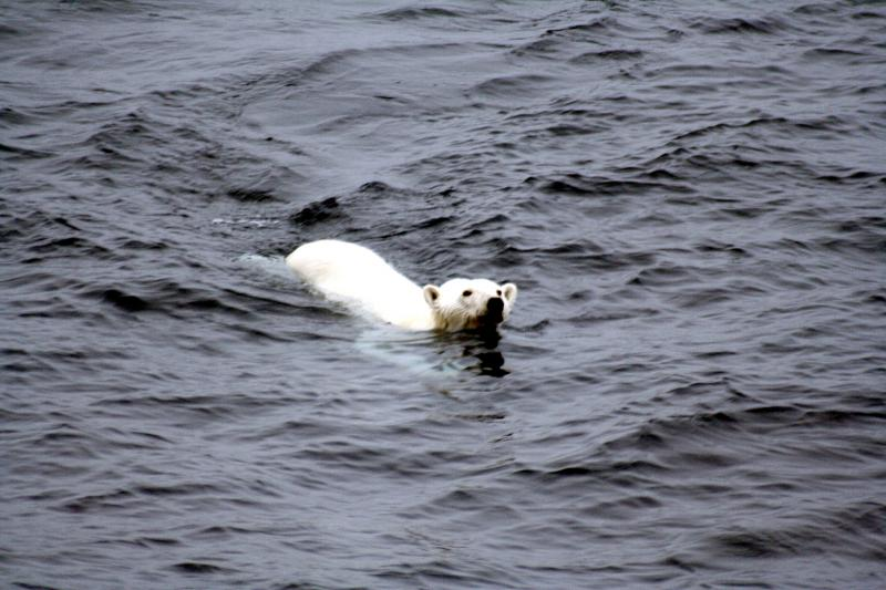 Image: Polar bear swimming.