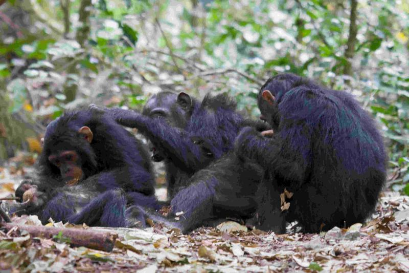 chimpanzee family