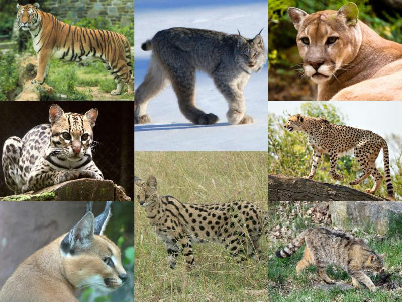 Collage of wild big cats