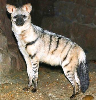 Aardwolf at the Cincinnati Zoo and Botanical Garden