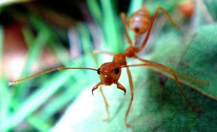 Weaver ant in fighting position