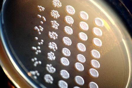 Yeast cells reproduce asexually