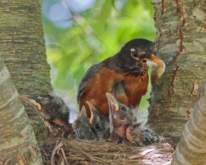 Robin removing a fecal sac from its nest