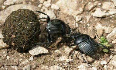 Two dung beetles fighting for possession of a dung ball